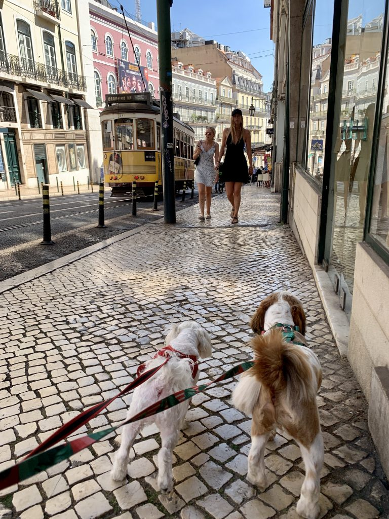 Image of two dogs, a Shih tzu and Maltese walking down the sidewalks of Chiado with architectural buildings and a trolley in the background.